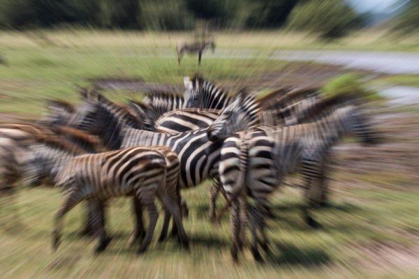 Köp zebra familj djurbilder på nätet - av felix oppenheim | Art On The Wall