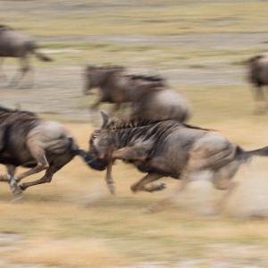 Köp ngorongoro-tanzania djurbilder på nätet - av felix oppenheim   Art On The Wall