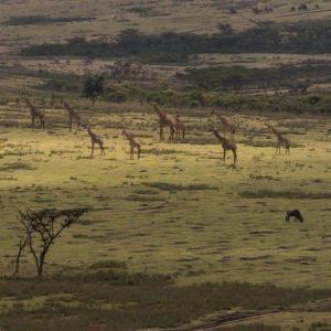 Köp giraff djurbilder tryckta på glas - av felix oppenheim   Art On The Wall