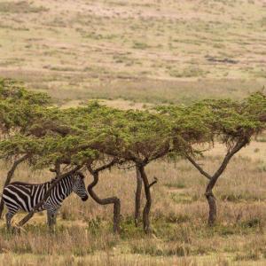 Köpa zebra djur bilder online - av felix oppenheim   Art On The Wall