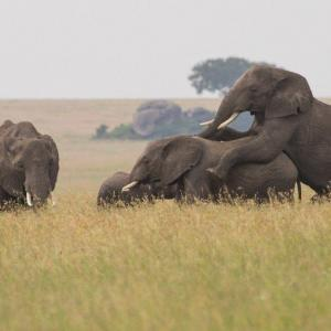 Köp elefant leker djurbilder - av felix oppenheim   Art On The Wall